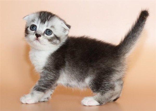 Re: Шотландские вислоухие кошки и котята из питомника Leonycat.
