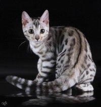 ...своих леопардовых предков.  Благодаря этому обстоятельству кошкам...