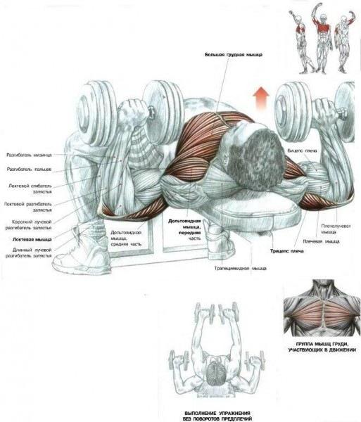 Все упражнения для грудных делятся на жимы и разведения.  В жимах работают два сустава - локтевой и плечевой...