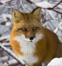 Fox Myxamor, id113457711