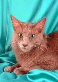Ангорские кошки имеют шерсть средней