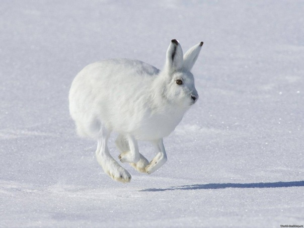Зайцы бегут!!!