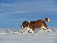 Обои для рабочего стола Сенбернар бежит по снегу.