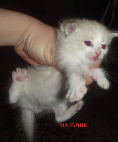Отдам-Котят-В Добрые-Руки, 17 июня 1999, Белово, id215323541