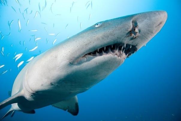 1. 1 самый сильный детёныш тигровой акулы пожирает внутри матери всех...