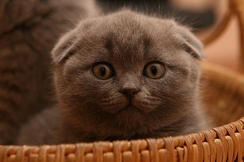 Мама - голубая шотландская кошка, папа - шоколадный табби, британец.