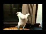 Опа! Попугай отжигает танец под клип Гангнам Стайл