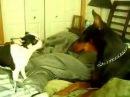 Chihuahua attacks Doberman