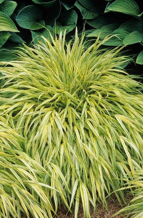японская трава