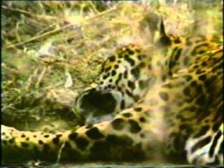 Ягуар против алабая. Охламон (Туркменфильм) 1993г.