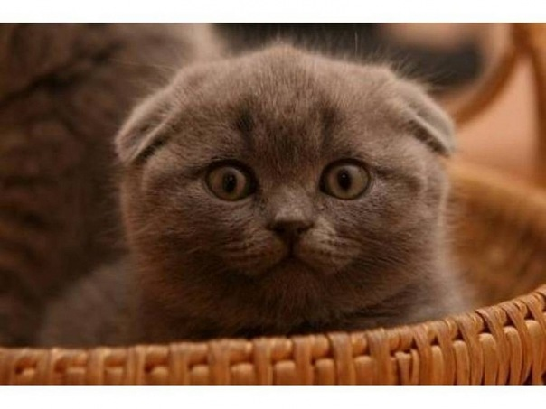 купить недорого британского вислоухого котенка авито - Сумки.