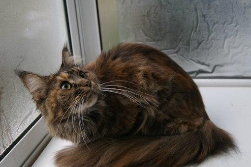 Питомник кошек Мейн Кун
