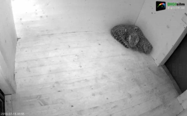 Web-камера следить за леопардами=)
