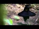 Брачный танец самца райской птицы Parotia wahnesi