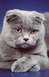 Британские и шотландские кошки.