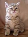 короткошерстные кошки фото - фотография 9.
