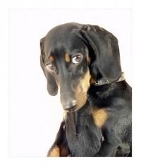 Такса 03 Фотографии собак Породы собак Собачий гороскоп.