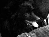 Chucky Pomeranian, 21 августа , Куйбышев, id118728224