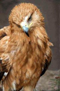 Орёл-могильник - вид птиц рода орлы (Aquila) из семейства ястребиных...