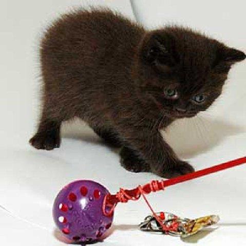 Мраморные окрасы британских кошек и