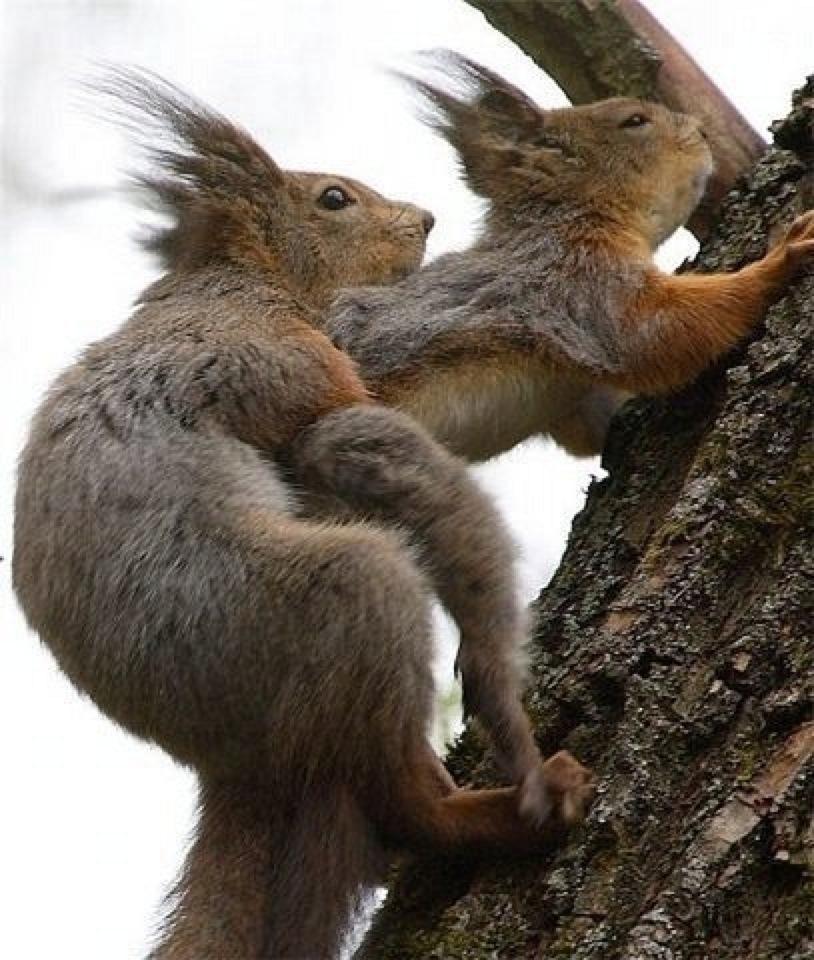 Squirrel Screw thumbnail.