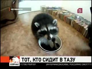 В Челябинске енот стирает носки хозяину1