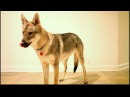 Czechoslovakian Vlcak puppy obedience and tricks