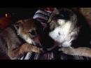 Czechoslovakian wolfdog and Saarloos wolfdog