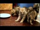 Czechoslovakian Vlcak puppies HD