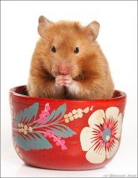 Профессиональные фотографии грызунов (хомяков, крыс, кроликов).