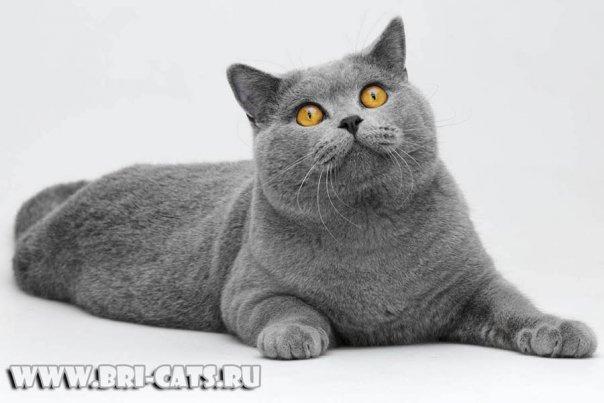 британские котята фото вислоухие голубые