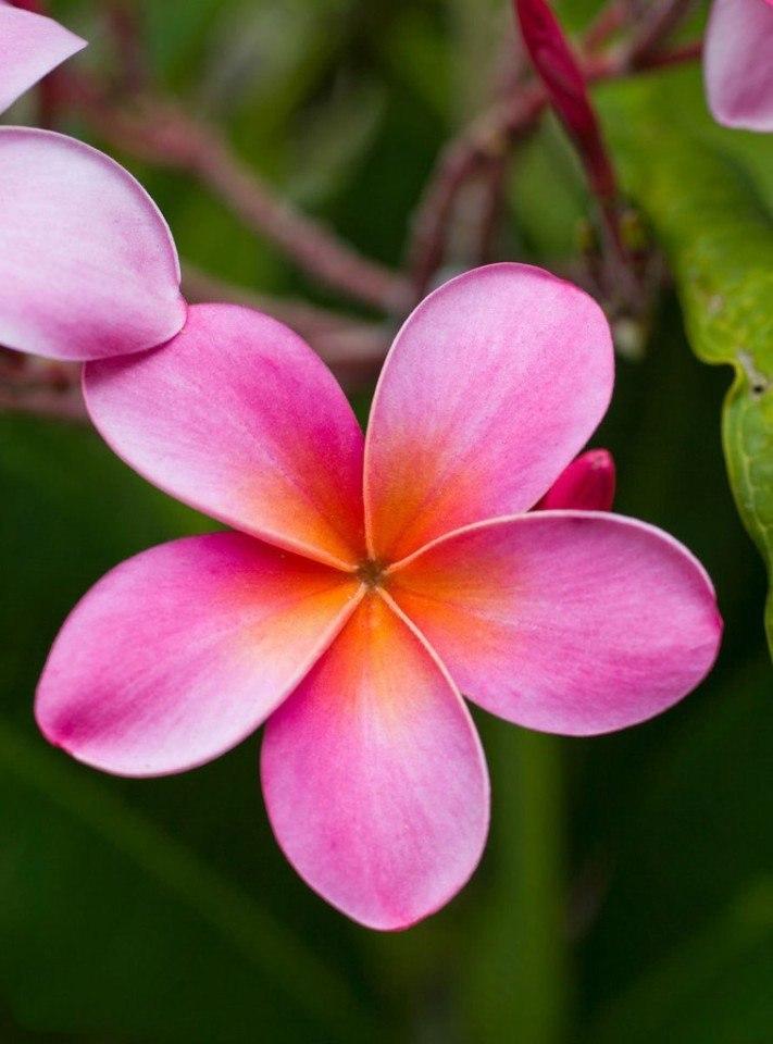 фото тайский цветок