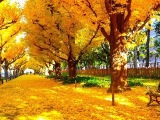 [HD]東京•明治神宮外苑のイチョウ並木 Gingko Avenue in tokyo 紅葉便り