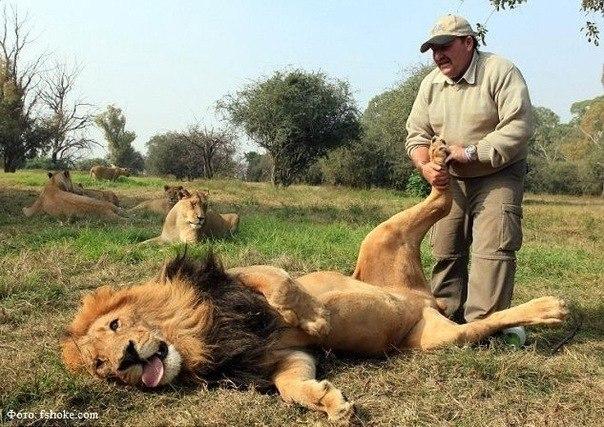 Британский 50-тилетний смотритель парка Алекс Ларенти спокойно потирает лапы огромного льва по кличке Jamu. Лев просто балдеет от удовольствия и ведет себя как обычный котенок.