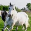 Любителі коней.