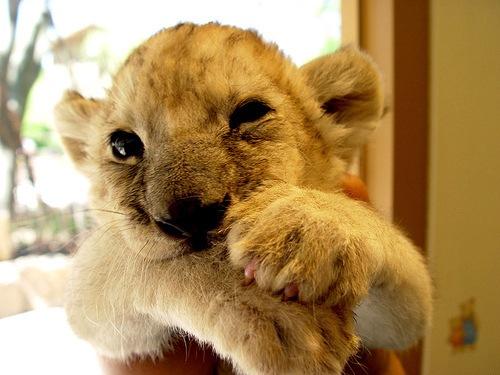Cute lions cubs.
