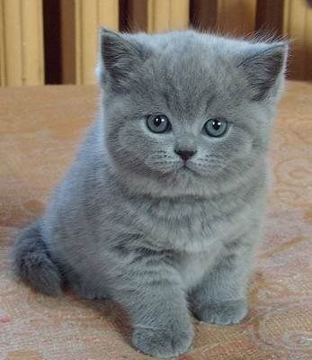 Стильные голубые британские котята с абрикосовыми глазами, интеллект в глазах, мальчик и девочка с характером.