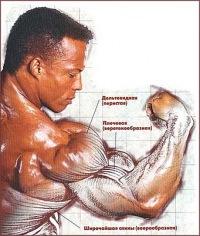 Длительное время считалось, что волокна мышц располагаются.