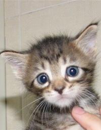 Зеленоград.  Отдам в добрые руки маленьких котят , беспородных , но.