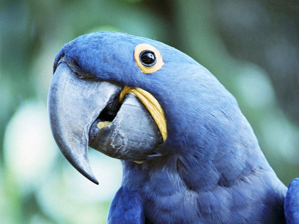 Попугай ара встречается крайне редко
