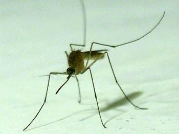 Эти кровососущие маленькие пакостные насекомые - комары.
