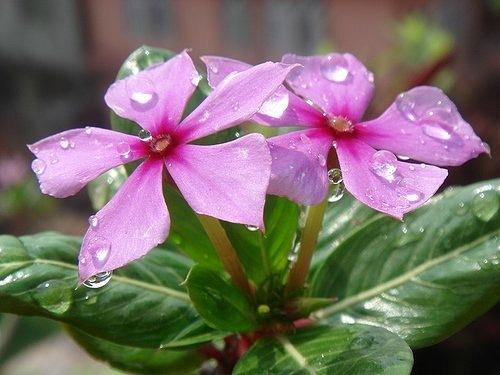Целебный цветок Катарантус