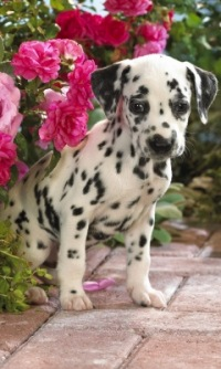 """Вышивка крестом. животные.  300x169 крестов. долматин.  Теги. собаки.  Гамма, 30 цветов.  Схемы вышивки  """"долматинец """"."""