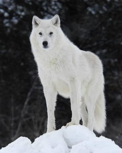Белый Волк Фильм