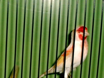 Гибридизация канарейки с отечественными видами вьюрковых птиц. X_65d6f09e