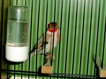 Гибридизация канарейки с отечественными видами вьюрковых птиц. X_d7ec9135