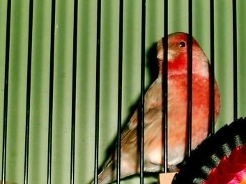 Гибридизация канарейки с отечественными видами вьюрковых птиц. X_e2f04a6b