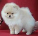 ...я влюбилась в собачку,очень хочу такую... померанский шпиц.