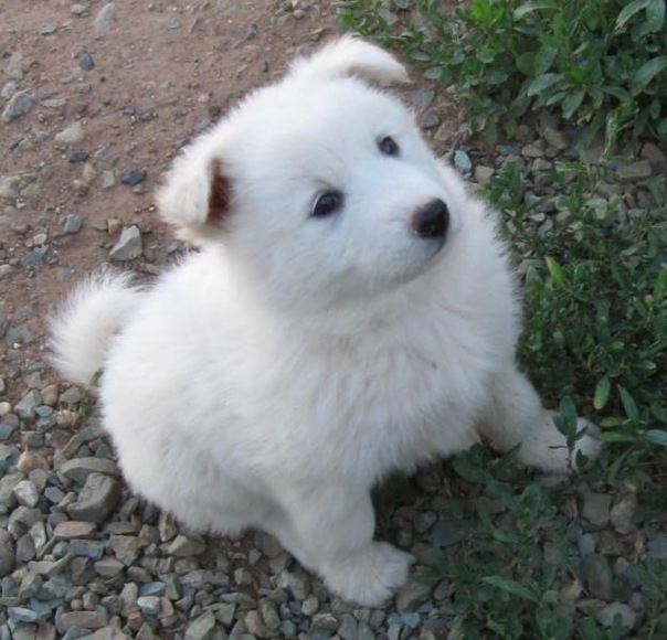 Продается щенок западносибирской лайки.