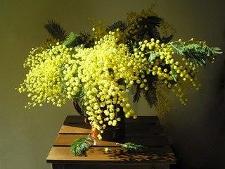 Как золота луч на рассвете, Сквозь зимнюю стужу и лёд, Мимоза,вся в солнечном...  Мимоза-прекрасный цветок, Тепла и...